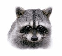 Raccoon Fine Art Print