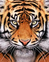 Tiger Face Fine Art Print