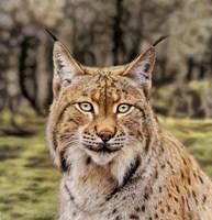 Lynx Fine Art Print