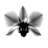 Orchid, Phalenop. X-Ray Framed Print