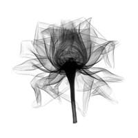 Rose,Open #2 X-Ray Fine Art Print