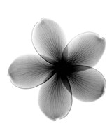 Plumeria X-Ray Fine Art Print