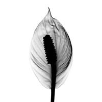 Spathyphyllum X-Ray Framed Print