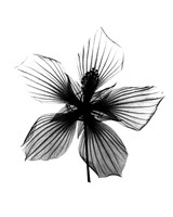 Hibiscus, Texas Star X-Ray Fine Art Print