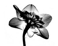 Jonquil X-Ray Fine Art Print