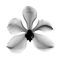 Orchid #3 X-Ray Fine Art Print
