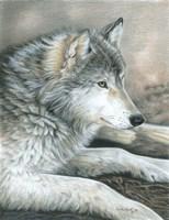 Calm Wolf Fine Art Print