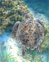 Swimming Turtle Fine Art Print