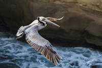 Pelican Flight Fine Art Print