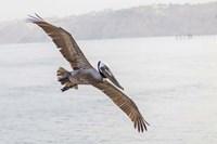 Pelican Spread Fine Art Print
