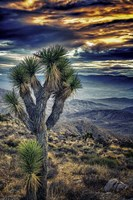 Joshua Tree Sunset Fine Art Print