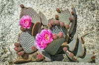 Pink Desert Flower Fine Art Print