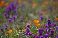 Poppies Purple Forground Fine Art Print