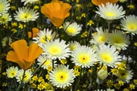 Poppies and Daisies Fine Art Print