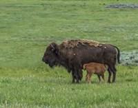 Baby Bison Nursing Fine Art Print