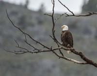 Bald Eagle Perched Fine Art Print