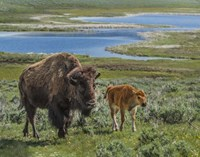 Bison Cow and Calf Fine Art Print