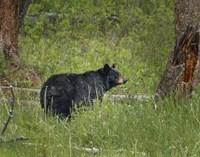 Black Bear Sow Watching Cubs Fine Art Print