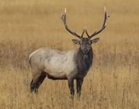 Bull Elk Fine Art Print