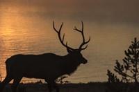 Bull Elk at Sunrise Fine Art Print