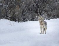 Coyote in Snow Fine Art Print
