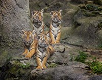 Malayan Tiger Cubs Oil Paint Fine Art Print