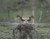 Osprey Lands on Nest With Chick Fine Art Print