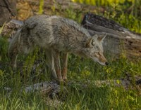 Stalking Coyote Fine Art Print