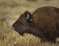 Yellowstone Bison Tongue Out Fine Art Print