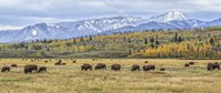 Grand Teton Bison Grazing Fine Art Print