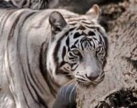 White Tiger 2 Fine Art Print