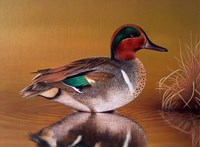 Green Winged Teal Fine Art Print