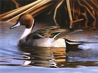 Northern Pintail I Fine Art Print