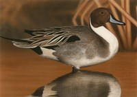 Northern Pintail III Fine Art Print