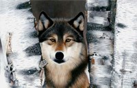 Wolf Peeking Through The Birch Fine Art Print