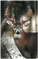 White-tail Buck-close up Fine Art Print