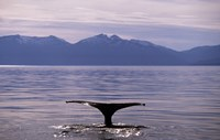 Humpback Whale in Alaska, USA Fine Art Print