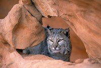 Bobcat in Desert Landscape Fine Art Print