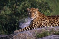 Leopard Stretched out on Rock Fine Art Print