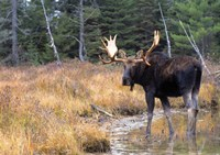 Moose in Swampland Fine Art Print