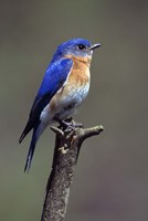 Beautiful Bluebird Fine Art Print
