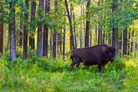 Buffalo in Forest Fine Art Print