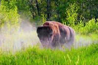 Buffalo in Dust storm Fine Art Print