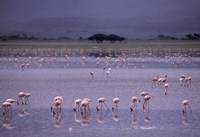 Flock of Flamingos Fine Art Print