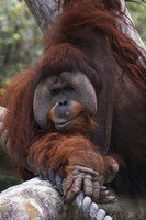 Close Up of Orangutang Fine Art Print