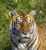 Close Up of Orange and Black Tiger Fine Art Print