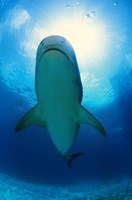 Underside of a Great White Shark Fine Art Print