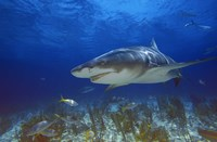 Shark Swimming Under Water Fine Art Print