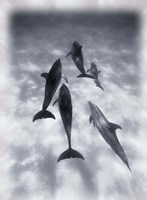 Black and White Dolphins Swimming Fine Art Print