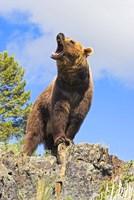 Brown Bear Roaring Fine Art Print
